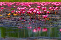 czerwony lotosowy kwiat w jeziorze Zdjęcia Stock