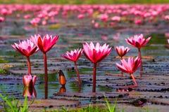 czerwony lotosowy kwiat w jeziorze Obrazy Stock
