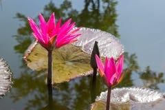 Czerwony lotosowy kwiat w jeziorze ulicą Zdjęcie Royalty Free
