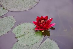 Czerwony Lotus w stawie w g?r? zdjęcie stock
