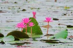 Czerwony Lotus, zieleń opuszcza na tle woda Obraz Stock