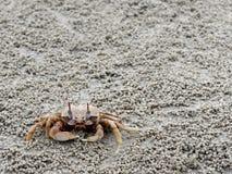 Czerwony lub pomarańczowy krab z bladym koloru ciałem ducha lub piaska jest przed swój dziurą z lub norą cedzin wyrkami lub piłka Zdjęcia Stock