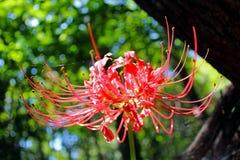 Czerwony Lycoris Fotografia Royalty Free