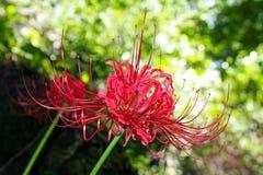 Czerwony Lycoris Zdjęcie Stock
