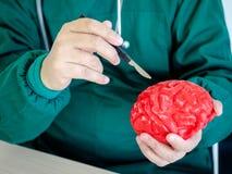 Czerwony mózg model Fotografia Royalty Free