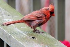 Czerwony Męski Północny kardynał na pokładzie w deszczu Fotografia Royalty Free