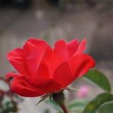 Czerwony Mały Wzrastał Zdjęcia Royalty Free