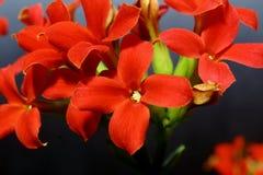 czerwony małe kwiaty Zdjęcie Royalty Free