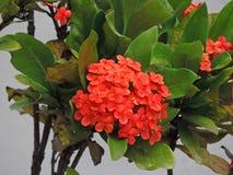 czerwony małe kwiaty Obraz Stock