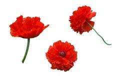 Czerwony maczek Świeży żyje kwiaty czerwony maczek Odosobneni, biali półdupki, Obrazy Stock