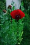 Czerwony maczek Zdjęcie Stock