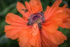 Czerwony maczek - czerwony kwiat Zdjęcia Royalty Free