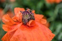 Czerwony maczek - czerwony kwiat Zdjęcia Stock