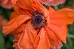 Czerwony maczek - czerwony kwiat Fotografia Stock