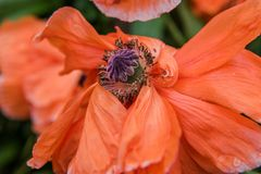 Czerwony maczek - czerwony kwiat Obraz Royalty Free