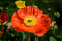 Czerwony maczek grżący słońcem Fotografia Royalty Free