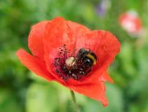 Czerwony maczek i pszczoła Zdjęcia Stock
