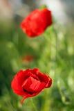Czerwony maczek kwitnie na polu Fotografia Royalty Free