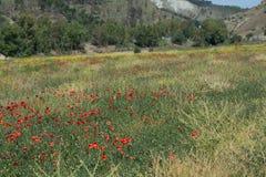 Czerwony maczek kwitnie na polu Fotografia Stock