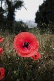 Czerwony maczek kwitnie na polu Zdjęcie Royalty Free