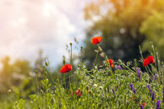 Czerwony maczek kwitnie w wiośnie na zamazanego tła miękkim pomarańczowym li Obrazy Royalty Free