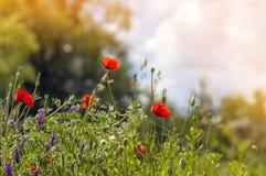 Czerwony maczek kwitnie w wiośnie na zamazanego tła miękkim pomarańczowym li Zdjęcie Stock