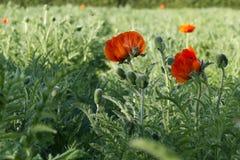 Czerwony maczek kwitnie w zielonym polu obrazy royalty free