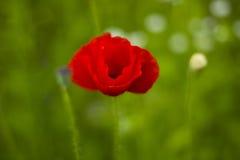 Czerwony maczek kwitnie z pączkiem w polu zdjęcie royalty free