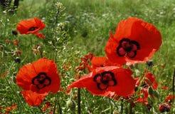 Czerwony maczek kwitnie zbliżenie słonecznego dzień Fotografia Stock