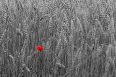 Czerwony maczek na białym tle fotografia royalty free