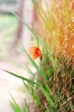 Czerwony maczek na słonecznego dnia zakończeniu, kwiecisty naturalnej wiosny tło Obraz Stock