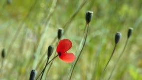 Czerwony maczek na zielonym tle Rewolucjonistka, oferta, powietrze, daje maczka Obrazy Royalty Free