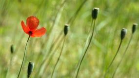 Czerwony maczek na zielonym tle Rewolucjonistka, oferta, powietrze, daje maczka Zdjęcia Stock