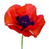 Czerwony maczek odizolowywający na białym tle Czerwony maczek Beautif Zdjęcie Royalty Free
