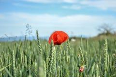 Czerwony maczek & x28; Papaver rhoeas& x29; w pszenicznym polu na wiosna czasie Kukurudza wzrastał, pospolity maczek, Flandryjski Zdjęcie Royalty Free