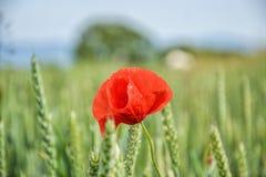 Czerwony maczek & x28; Papaver rhoeas& x29; w pszenicznym polu na wiosna czasie Kukurudza wzrastał, pospolity maczek, Flandryjski Fotografia Stock