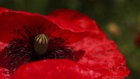 Czerwony maczek w łące Papaver rhoeas Zamknięty Up zbiory