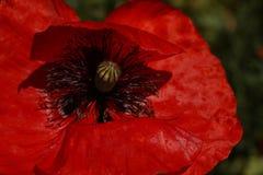 Czerwony maczek w łące Papaver rhoeas Zamknięty Up Zdjęcia Royalty Free