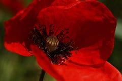 Czerwony maczek w łące Papaver rhoeas Zamknięty Up Fotografia Stock