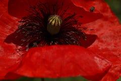 Czerwony maczek w łące Papaver rhoeas Zamknięty Up Fotografia Royalty Free