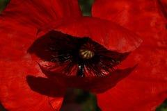 Czerwony maczek w łące Papaver rhoeas Zamknięty Up Obraz Stock