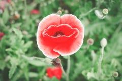Czerwony maczek w ogródzie fotografia royalty free