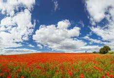 Czerwony maczek w polach obrazy royalty free