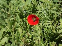 Czerwony maczek w trawie zdjęcie stock