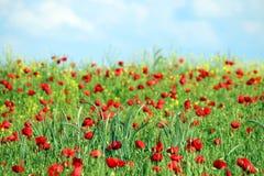 Czerwony maczków kwiatów pole i niebieskie niebo z chmurami Zdjęcie Royalty Free