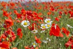 Czerwony maczka pole z białymi kwiatami chamomiles fotografia royalty free