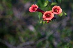 Czerwony madame galen winogradu Tubowego kwiatu dorośnięcie w Floryda Zdjęcie Stock