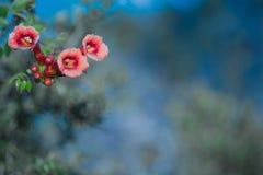 Czerwony madame galen winogradu Tubowego kwiatu dorośnięcie w Floryda Fotografia Royalty Free