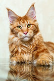 Czerwony Maine coon kota lis pozuje na lustrzanym odbiciu Obraz Stock