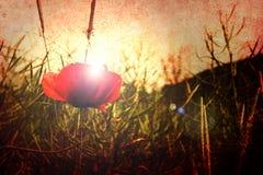 czerwony makowa Zdjęcie Stock